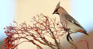 A waxwing in Lucan, Co Dublin last Friday: the birds feed on berries. Photograph: Eric Dempsey/Birds Ireland