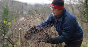 Mark McDowell weaves blackthorn branches through hazel rods used to support the freshly laid hedge. Photograph: Richard Johnston