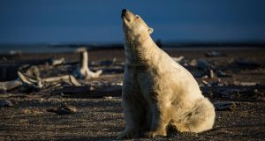 Without action on climate change experts believe polar bears will  disappear from much of the Arctic. Photograph: Josh Haner/ New York Times