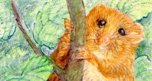 New arrival: the hazel dormouse came to Ireland recently, perhaps in French hay. Illustration: Michael Viney