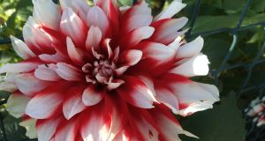 Garden beauty: plant several different types of dahlia to enliven your garden.