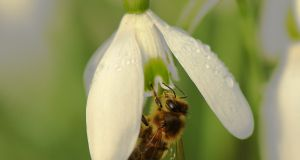 HOTTEST YEAR: A honeybee sitting on a snowdrop in Limerick on Monday.  The latest World Meteorological Organisation climate change statistics released during the week show 2016 was the hottest year on record globally. Photograph: Prof John Breen