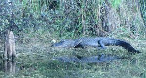 When canoeing through the Everglades remember alligators  have right of way