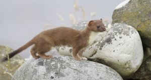 "The Department of Arts and Heritage has requested that Irish Water undertake a ""stoat survey"" after the mammal was detected at the Stillorgan reservoir.  Photograph: Dermot Breen"