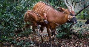 The wild bongo population is in rapid decline. Photograph: Patrick Bolger/Dublin Zoo/PA Wire