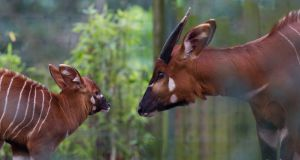 The bongo calf with its mother in Dublin Zoo. Photograph: Patrick Bolger/Dublin Zoo/PA Wire