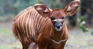 Dublin Zoo has welcomed the arrival of a new bongo calf. Photograph: Patrick Bolger/Dublin Zoo/PA Wire