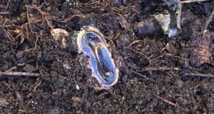 Eyes on nature: the Australian flatworm on Ruth Barrington's compost heap