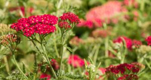 The yarrow plant: it has 'anti-spasmodic and anti-inflammatory actions' for cramps and irregular periods.