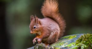 Howth's red squirrel population may be under threat. Photograph: iStock