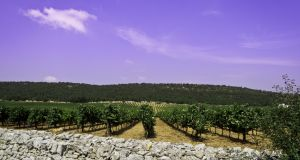 Puglia, or Apulia, in southern Italy, produces red wine varieties such as  Negroamaro and  Primitivo, the same grape as California's Zinfandel. Photograph: iStockphoto