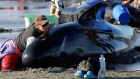 Rescuers rush to save whales after hundreds die in New Zealand stranding