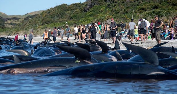 Another 240 Whales Swim Aground At New Zealand Beach