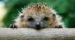 What's that noise? It's a hedgehog snoring
