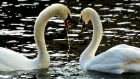 SWAN SONG: Heads bowed low in apology on the Grand Canal at Portabello.  Photograph: Cyril Byrne