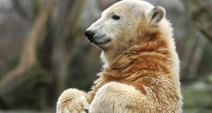 Knut the famous polar bear  at Berlin's zoo. He died suddenly and prematurely  in 2011, at the end of what animal welfare groups said was an unhappy, short life. Photograph: John MacDougall/AFP/Getty Images