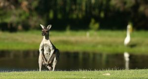 A kangaroo looks on from the side of the third fairway at Lake Karrinyup Country Club in Perth, Australia. Photograph: Paul Kane/Getty Images