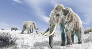 A team at Harvard is close to creating a mammoth-elephant hybrid. Photograph: Getty Images