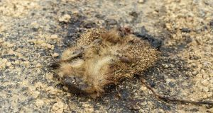 Tired out: This unfortunate hedgehog can be a source of valuable scientific information.