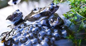 SEASON CHANGES: That time of year as  frogs create spawn in a pond to herald  the onset of spring time. Photograph: Cyril Byrne