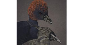 Anchiornis and Tinamou