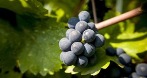 Pinot Noir, the great red grape variety responsible for Burgundy