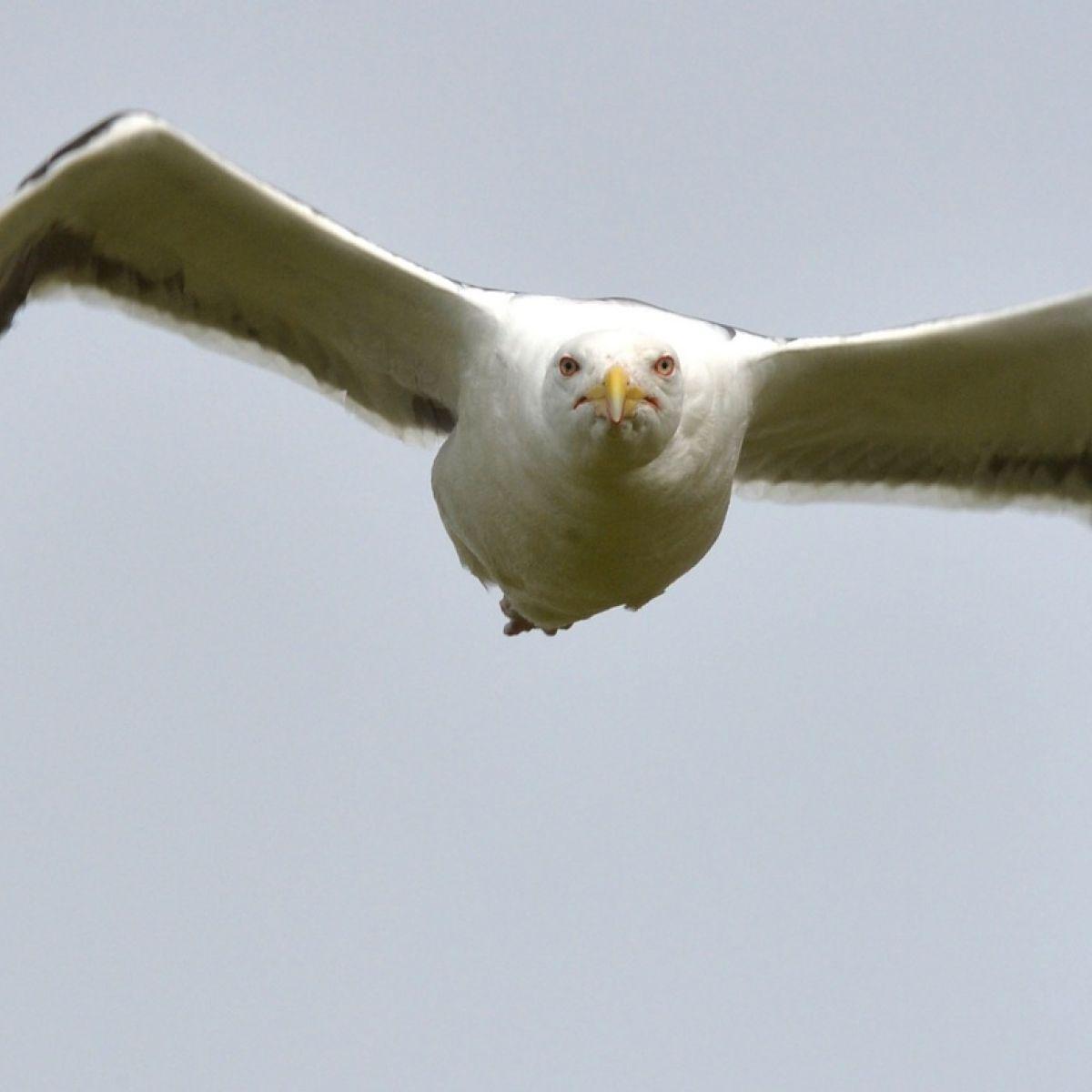 Aggressive seagulls are attacking Dubliners, Seanad told