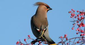 Waxwings breed in the Taiga forest, around Russia and Scandinavia. Around September they switch from eating flies to eating berries and migrate south and arrive here. Photograph: Dick Coombes