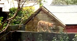 Eye on nature: the Bengal cat that Amy Missen saw on her garden wall, in Sandyford in Dublin