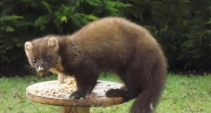 Eye on nature: the pine marten that Raymond Dolan saw in Co Donegal