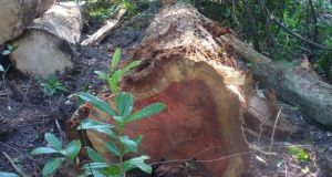 A sequoia felled at the Longford estate. Photograph: Friends of the Irish Environment
