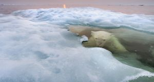 A polar bear hides beneath melting sea ice. Arctic sea ice was well below average for most of the year in 2016. Photograph: Paul Souders/Worldfoto