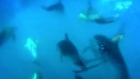 Huge school of dolphins caught on camera