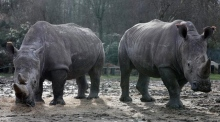 Czech zoo removes rhinos' horns after poaching in France