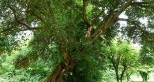 A Holm Oak tree in Northern Ireland has come sixth in the European Tree Of The Year contest. Photograph: Woodlandtrust.org.uk