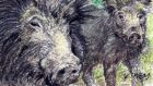 'Invasive alien species': In at least 10 counties wild boar are to be shot on sight. Illustration: Michael Viney