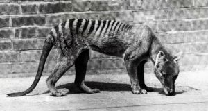 The Tasmanian tiger is thought to have died out some 80 years ago. Photograph: Paul Popper/Getty Images