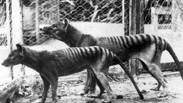 Two of the animals seen in Hobart Zoo in 1933. Photograph: Universal History Archive/Getty Images