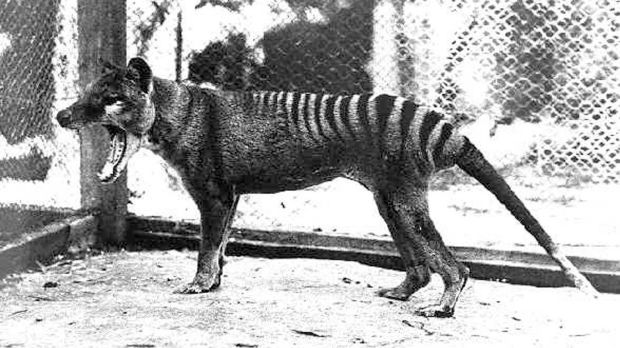 This Tasmanian tiger was the last one to be captured and died in the old Hobart Zoo, now closed, on September 7th, 1936. Photograph: John Carnemolla/Corbis via Getty Images