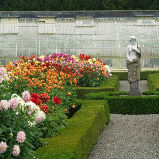 Dahlias growing in the gardens of Aras an Uachtarain. Photo credit Richard Johnston