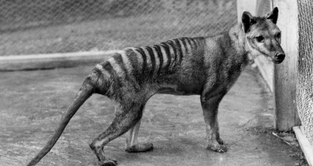 why did sightings of extinct tasmanian tiger cause such excitement