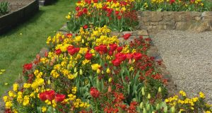 Darwin tulips underplanted with scented wallflowers in The Bay Garden in Co Wexford. Photograph: Richard Johnston