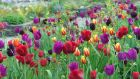 A profusion of tulips flowering in June Blake's west Wicklow garden. Photograph: Richard Johnston