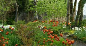 Tulip Cairo growing en-masse in Angela Jupe's Offaly garden. Photograph: Richard Johnston