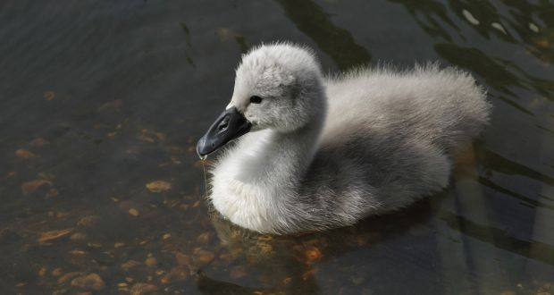 ugly duckling swan wwwpixsharkcom images galleries