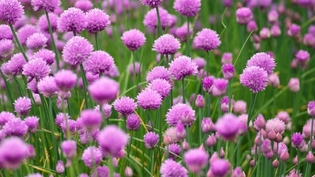 Chives are easy to grow perennials. Photograph: Richard Johnston