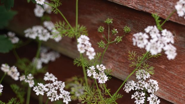 The dainty flowers of coriander. Photograph: Richard Johnston