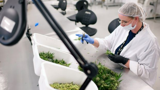 """Medical marijuana plants: UL's Dr Ray O'Connor says, """"It won't be a case of walking into a pharmacy and getting six bags of cannabis and 'Happy days'."""" Photograph: James MacDonald/Bloomberg via Getty Images"""