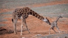 Australian zoo welcomes its first baby giraffe in eight years