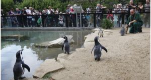 Dublin Zoo said the process of bringing birds back into their outdoor habitats 'will take a number of days'.  Photograph: Brenda Fitzsimons